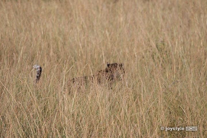 再走肯尼亚——马赛马拉豹