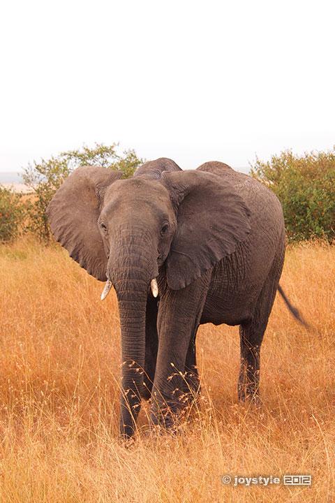 再走肯尼亚——马赛马拉非洲象