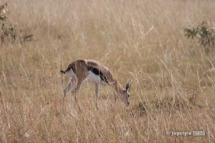 再走肯尼亚——马赛马拉瞪羚