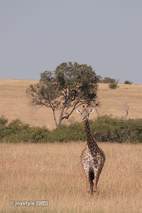 再走肯尼亚——马赛马拉长颈鹿