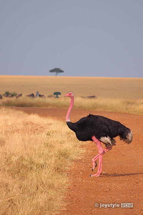 再走肯尼亚——马赛马拉鸵鸟