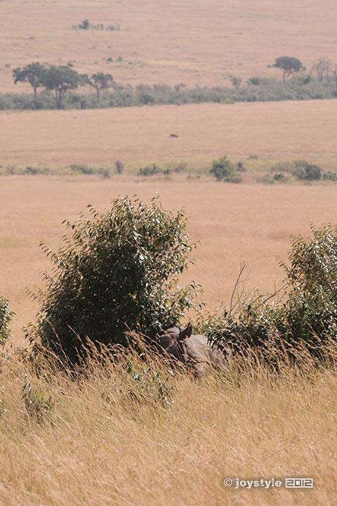 再走肯尼亚——马赛马拉黑犀牛