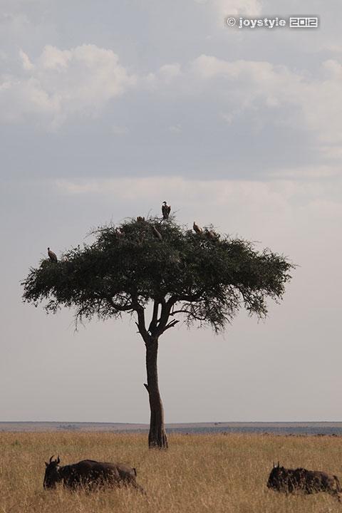 再走肯尼亚——马赛马拉秃鹫