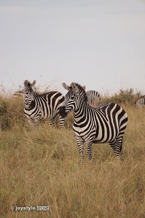 再走肯尼亚——马赛马拉斑马