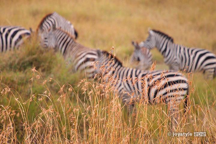 2012年8月6日摄于肯尼亚马赛马拉国家自然保护区