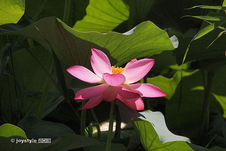 玉渊潭公园荷花