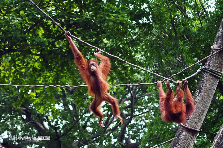 2016年11月12日摄于新加坡动物园